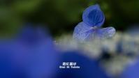 紫陽花の彩 - 君に届け