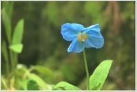 風穴に咲くヒマラヤの青いケシ - ハチミツの海を渡る風の音