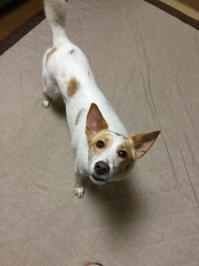 あっちあち - 琉球犬mix白トゥラーのピカ