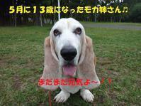 モカ姉さん13歳のお祝い🎵🎵 - もももの部屋(家族を待っている保護犬たちと我家の愛犬のブログです)