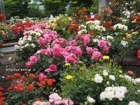 地元の薔薇園~♫ - アリスのトリップ