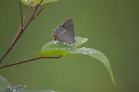 ハヤシミドリシジミ7月2日南信にて - 超蝶