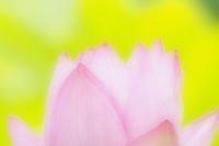蓮の花も沢山咲いているようだ - スポック艦長のPhoto Diary