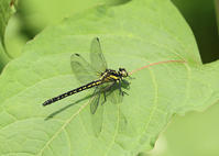 サナエトンボ3種 - 公園昆虫記