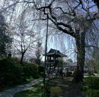 茨城の一本桜 - 写真巡礼「日本の風景」