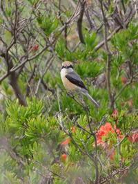 霧ケ峰高原のモズ - コーヒー党の野鳥と自然 パート2