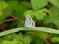 ヒメシジミ   上州の高原で - 蝶のいる風景blog