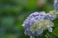つがの里に咲く紫陽花 - 季節の風を追いかけて