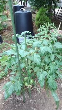 トマトにまた支柱 - うちの庭の備忘録 green's garden