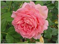 Jubilee Celebration - Garden Diary