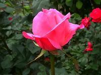 559、バラの季節始まる - 五十嵐靖之 趣味の写真と短歌