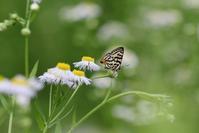 キマダラルリツバメ最盛期 - 蝶超天国