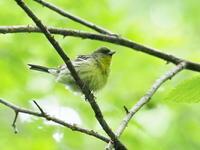 軽井沢にいたノジコ - コーヒー党の野鳥と自然 パート2