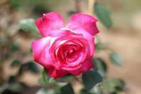 聖火という名のバラ - toujours comme ca (いつも こんな感じ)