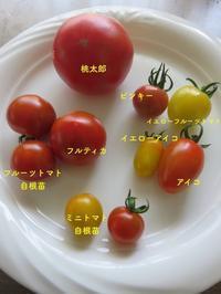 トマト色々&小玉スイカの初収穫 - 光さんの日常