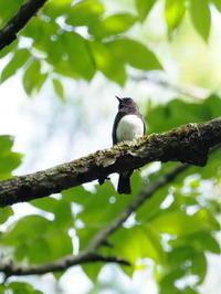 小瀬林道のオオルリ - コーヒー党の野鳥と自然 パート2