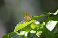 ウラキンシジミ7月7日中信にて - 超蝶