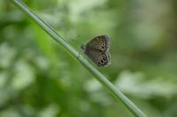 ウラジャノメ7月7日中信にて - 超蝶