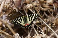 本日の1枚2017年4月17日12時10分「お昼休みの出会い-赤上がり」 - 安曇野の蝶と自然