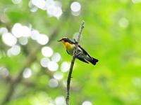 野鳥の森のキビタキ - コーヒー党の野鳥と自然 パート2