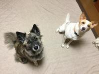 ひとりっ子 - 琉球犬mix白トゥラーのピカ