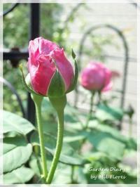 Souvenir de la Mme.Breuil in the hottest days - Gardener*s Diary