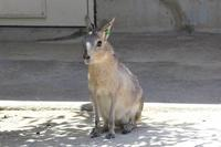 マーラっ仔とカピバラ親子と姿を見せないユーラシアカワウソ - 続々・動物園ありマス。