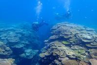 癒やしの加計呂麻島サンゴ礁とヒトデの産卵 - 奄美大島 ダイビングライフ    ☆アクアダイブコホロ☆