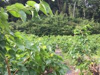 第2回 桑摘み大会  (連日です💦) - マルベリークラブ中部 <自然の叡智を桑・蚕に学ぼう 環境保全・里山づくり>