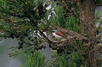 遠方のチゴモズ - 武蔵野の野鳥