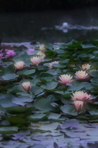 Waterlilies - kzking1963 Digital Photo Diary