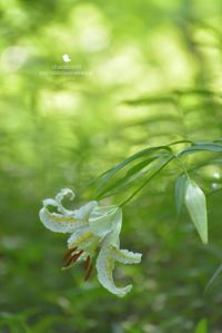やまゆりの季節 - お花びより