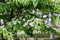 ヤマボウシの花を叔父に捧げます - 照片画廊