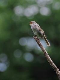 野鳥の森でウグイスが囀る - コーヒー党の野鳥と自然 パート2