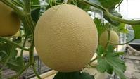 水耕メロンです~黄色く色付いています - ◇◇◇ tomatorose  ~ トマトローゼ ◇◇◇