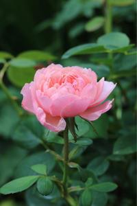 バラの2番花が咲き始めた*これはブルヘッド? - my small garden~sugar plum~