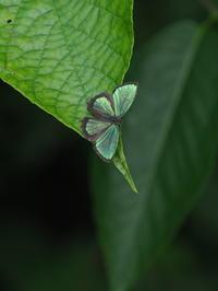 メスアカミドリ、エゾミドリシジミ - 自然を楽しむ