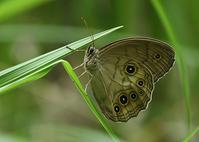 オオヒカゲ - 公園昆虫記