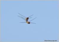 赤とんぼの交尾飛翔 - 野鳥の素顔 <野鳥と日々の出来事>