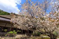 京都の桜2017 常照皇寺の桜たち - 花景色-K.W.C. PhotoBlog