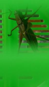 夏の遊び方 キリギリス - 魔法のカツラ
