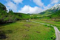 ワタスゲ湿原(栂池自然園) - くろちゃんの写真