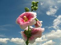 夏の花と夏の空 - ちょっとネコばか