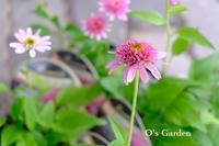 新着苗のご紹介( ^ω^ )&O's Garden 便り No.154 - O's garden へ ようこそ~ ♪