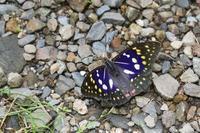 渓谷で見られたチョウ達 - 蝶超天国