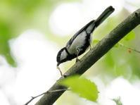 軽井沢でこんな野鳥も - コーヒー党の野鳥と自然 パート2