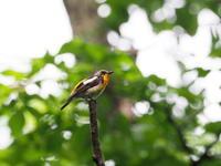 キビタキの幼鳥がいた - コーヒー党の野鳥と自然 パート2