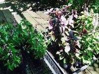明日草庭オープンガーデン用のハーブ苗 - Healing Garden  ー草庭ー