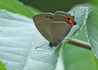 その後のゼフィルス初撮り5種 - 公園昆虫記