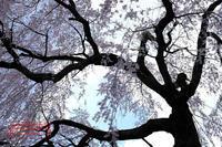 四美・岩太郎のしだれ桜 - favorite pursuit
